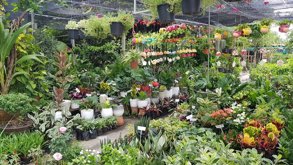 ฺrubber plant shop