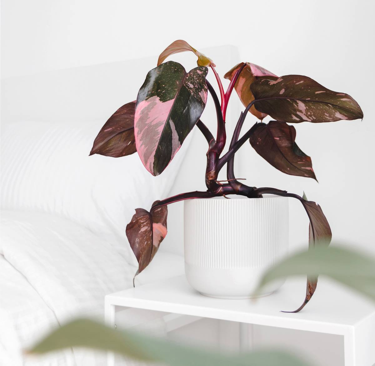 Philodendron-Pink-princess