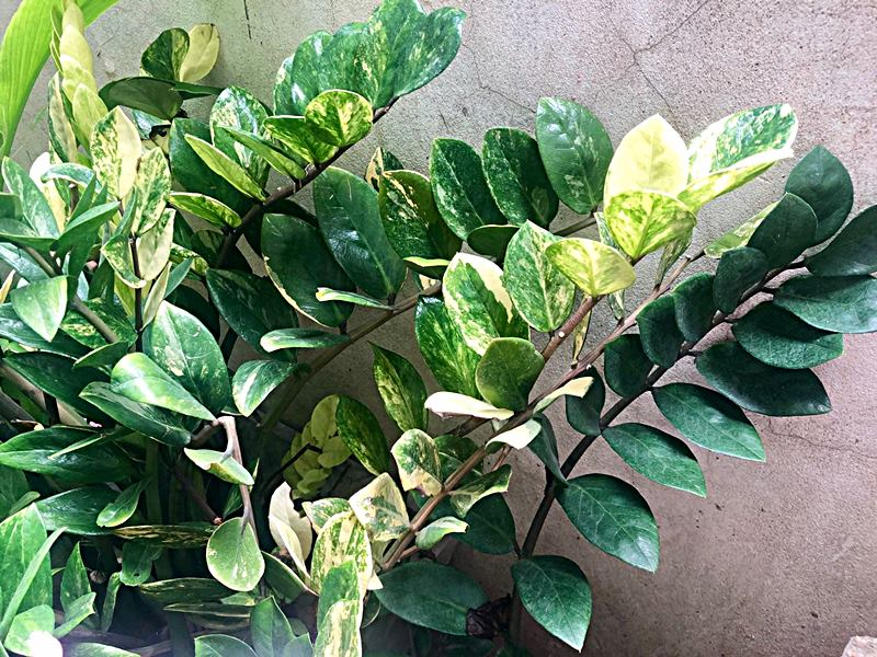 Zamioculcas-zamiifolia