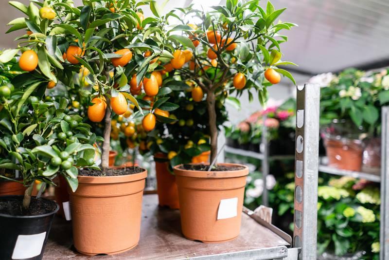 Kumquat-ต้นส้มแคระ