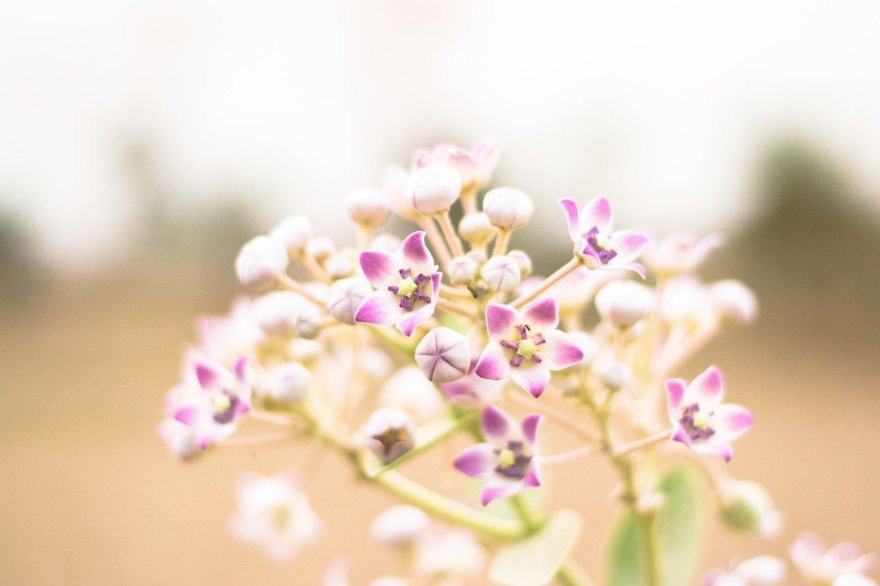 ปลูกต้นไม้เสริมดวงความรัก ดอกรัก ให้หัวใจเป็นสีชมพู