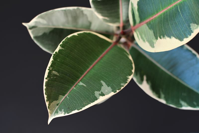 ต้นยางอินเดีย